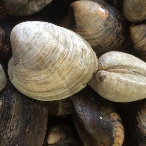 clams petit