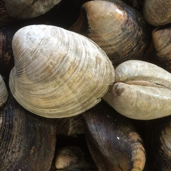 clams petit